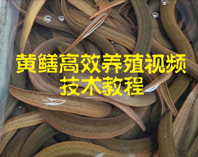 黄鳝高效养殖视频技术教程