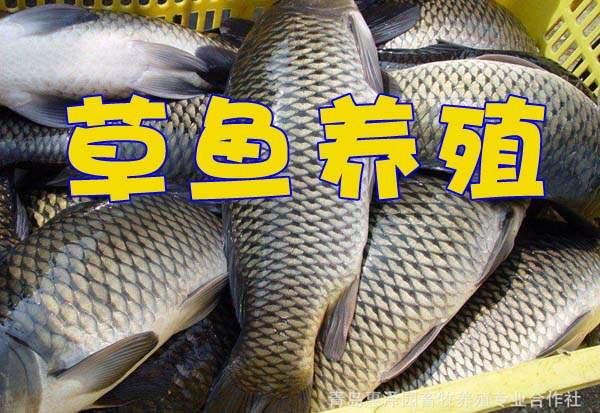 草鱼的养殖技术视频资源下载